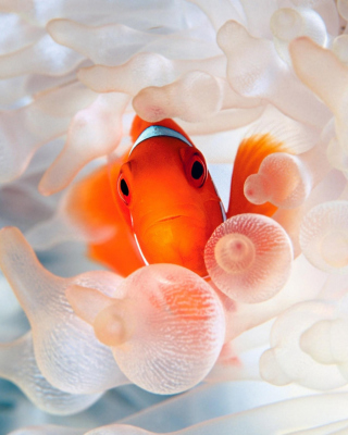 Orange Clownfish Wallpaper for Nokia C1-01