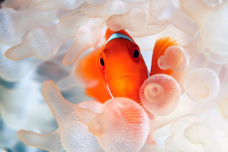 Orange Clownfish Wallpaper for Android, iPhone and iPad