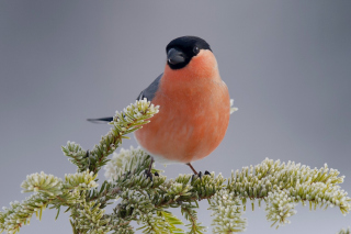 Free Bullfinch Picture for Android, iPhone and iPad