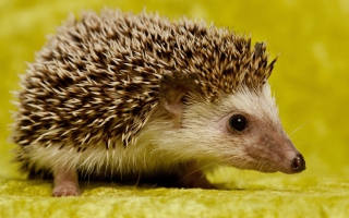 Little Hedgehog - Fondos de pantalla gratis