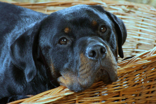 Rottweiler Dog Background for Android, iPhone and iPad