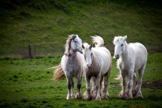 Free White Horses Picture for Android, iPhone and iPad