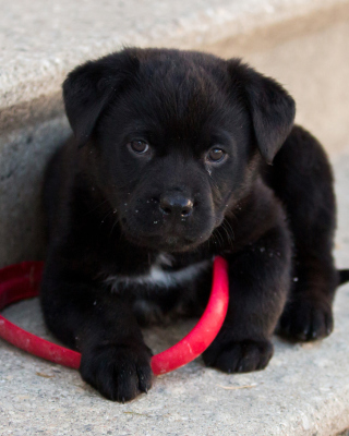 Free Black puppy Picture for iPhone 6 Plus