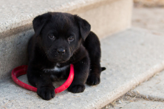 Free Black puppy Picture for Android, iPhone and iPad