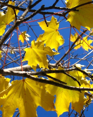 Yellow Maple Leaves - Fondos de pantalla gratis para Nokia Asha 309
