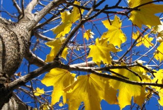 Free Yellow Maple Leaves Picture for Android, iPhone and iPad
