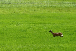 Kostenloses Deer Running In Green Field Wallpaper für Android, iPhone und iPad