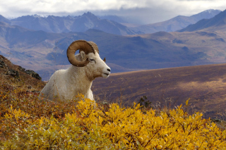 Goat in High Mountains Background for Android, iPhone and iPad