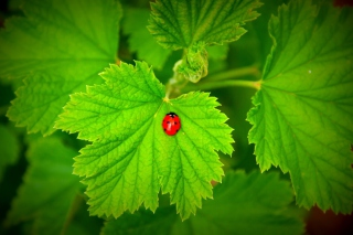 Red Ladybug On Green Leaf - Obrázkek zdarma