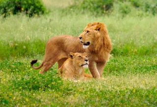 Lion And Lioness Picture for Android, iPhone and iPad
