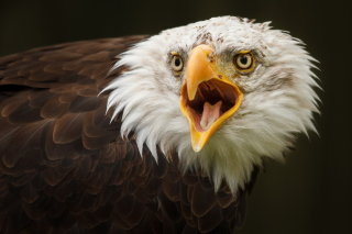 Free Eagle Picture for Android, iPhone and iPad