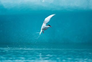Arctic Tern Wallpaper for Android, iPhone and iPad