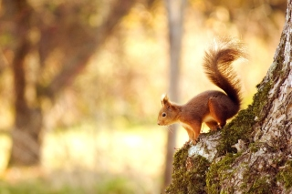 Nice Squirrel Background for Desktop 1280x720 HDTV