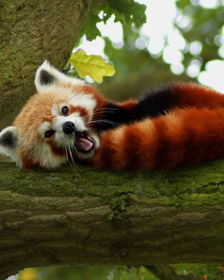 Red Panda Yawning Background for HTC Titan