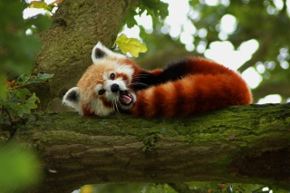 Free Red Panda Yawning Picture for Widescreen Desktop PC 1920x1080 Full HD