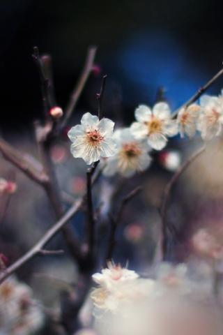 Blooming Apricot Tree para Huawei G7300