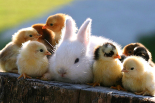 Free Rabbit and Chicken Picture for Android, iPhone and iPad