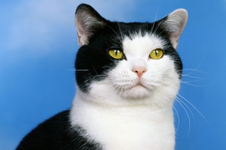 Black and White American Shorthair sfondi gratuiti per cellulari Android, iPhone, iPad e desktop