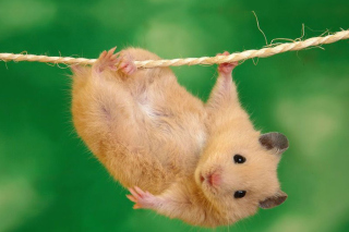 Funny Hamster Background for Android, iPhone and iPad