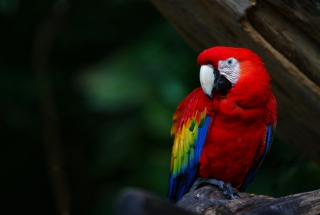 Red Parrot Wallpaper for Android, iPhone and iPad