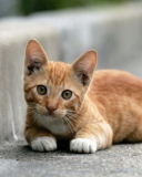 Red Kitten wallpaper 128x160