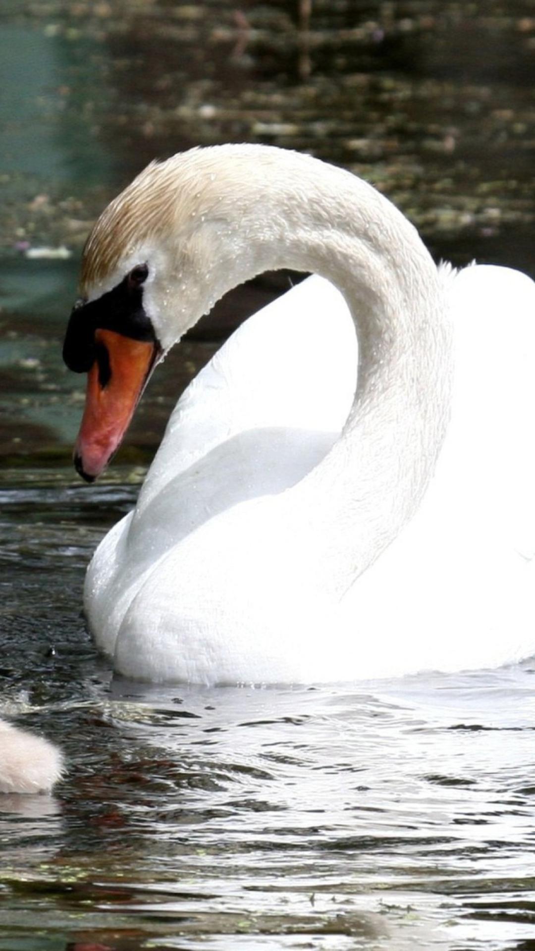 Фото для смартфонов лебеди