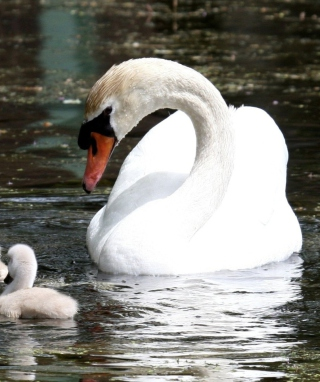 Free Swan Picture for Nokia X6