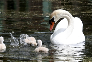 Free Swan Picture for Android, iPhone and iPad