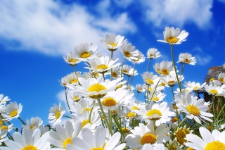 Field Of Daisies Background for Android, iPhone and iPad