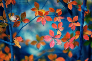 Kostenloses Crimson Leaves Macro Photo Wallpaper für Android, iPhone und iPad