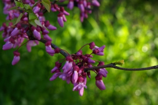 Texas Redbud Wallpaper for Android, iPhone and iPad