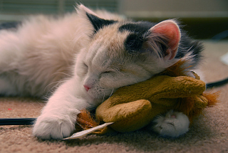 Free Sleeping Kitten Picture for Android, iPhone and iPad