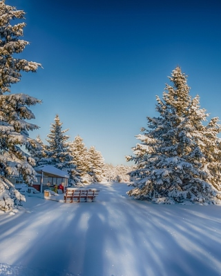 Spruce Forest in Winter Picture for 240x400