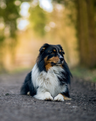 Kostenloses Australian Shepherd Dog on Road Wallpaper für 640x960