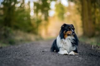 Australian Shepherd Dog on Road Background for Android, iPhone and iPad