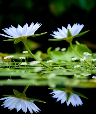 Water Lilies Wallpaper for 640x1136