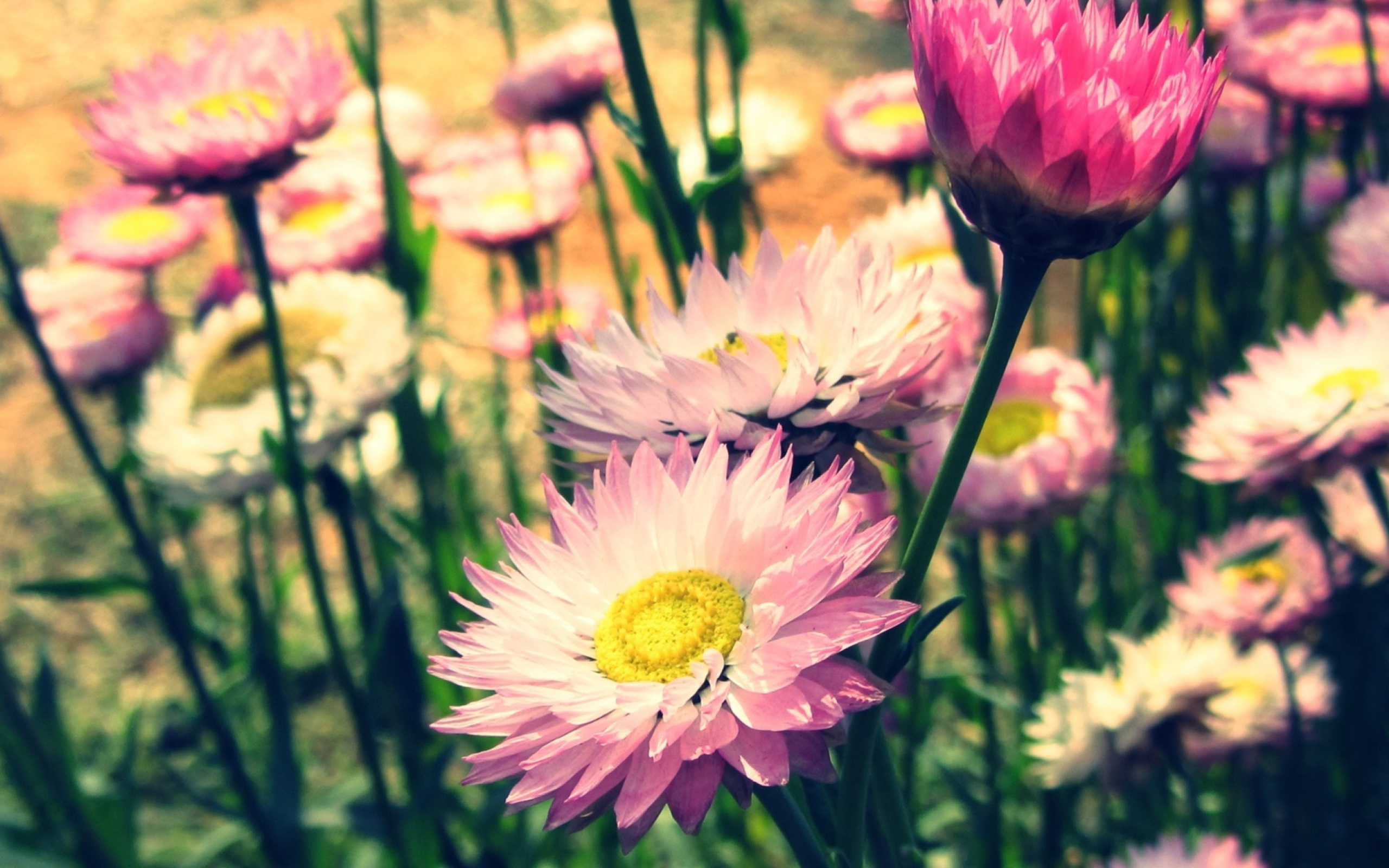 обои на телефон летние цветы джеки глаза