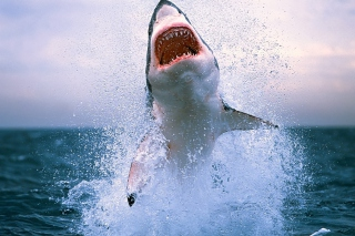 Shark Attack Wallpaper for Android, iPhone and iPad
