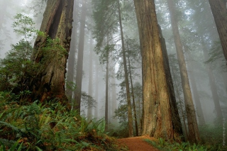 Free Fog Forest Picture for Android, iPhone and iPad