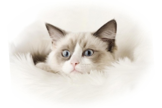 Ragdoll Cat Wallpaper for Android, iPhone and iPad