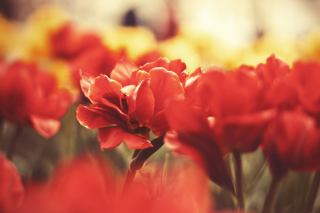 Red Flowers Wallpaper for Android, iPhone and iPad