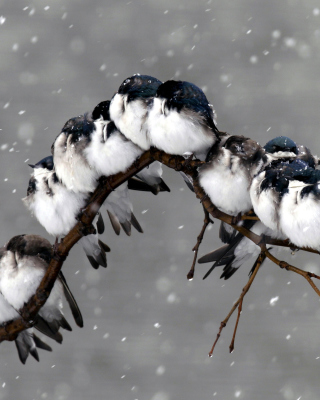 Frozen Sparrows sfondi gratuiti per iPhone 4S