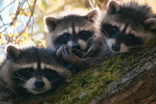 Racoons Picture for Android, iPhone and iPad