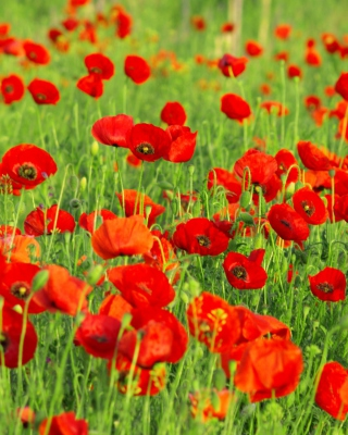Beautiful Poppy Field - Fondos de pantalla gratis para Nokia 5800 XpressMusic
