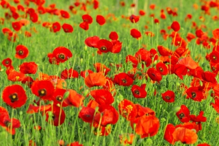 Beautiful Poppy Field Wallpaper for Android, iPhone and iPad