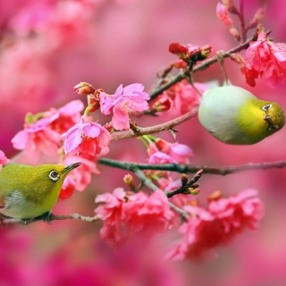 Birds and Cherry Blossom Background for 208x208