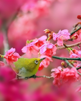 Free Birds and Cherry Blossom Picture for Nokia Asha 305