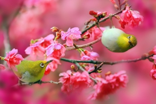 Birds and Cherry Blossom Background for Nokia Asha 201
