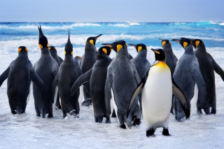 Royal Penguins Wallpaper for Widescreen Desktop PC 1920x1080 Full HD