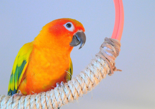 Free Beautiful Orange Parrots Hd Picture for Android, iPhone and iPad